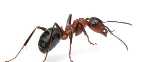 Hormigas en casa