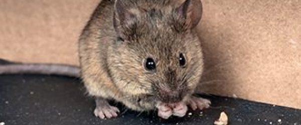 Ratón en cocina